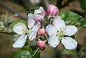 Blossom of Apple 'Coronation', early May. An English dessert apple from Buxted Park, East Sussex. Dates from 1902, when it was introduced for the coronation of King Edward VII.