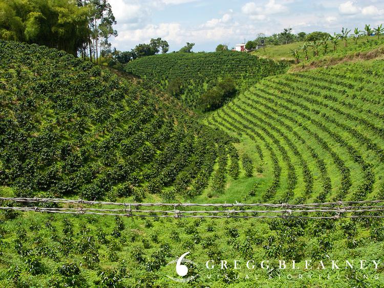 Coffee Plantation - Armenia - Colombia