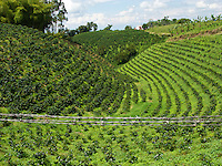 Coffee Plantation - Armenia - Colombia