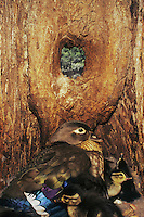 Wood Duck (Aix sponsa), female with newly hatched young in nesting cavity, Raleigh, Wake County, North Carolina, USA