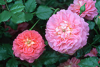 Rose Christopher Marlowe, English roses pink