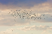Rooks (Corvus frugilegus) Coming to roost in flight over Fluke Hall, Pilling, Lancashire, UK