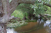 Naturnaher Flachlandbach, Bach mit uferbegleitenden Weiden, Salix und Flutender Hahnenfuß.Brook, rivulet, stream