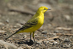 Yellow Wagtail, Motacilla flafa lutea, Lake Langano, Ethiopia, on ground, breeding colour of male.Africa....