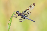 Banded Pennant (Celithemis fasciata) Dragonfly - Male, Harriman State Park, Stony Point, Rockland County, New York