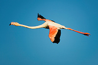 Greater Flamingo (Phoenicopterus roseus) in flight,  Camargue, France