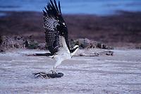 562059010 wild osprey pandion halaietus taking flight with fish prey laguna atascosa national wildlife refuge south texas