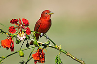 Summer Tanager with Royal Poinciana Flowers