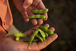 Edamame is a type of edible soybean. It's best when the pods grow with three beans...Edamame harvest at the Fry Farm in Tiffin, Ohio.Charles C Fry.American Sweet Bean Company