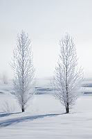 A pair of trees coated with hoar frost are a symbolic testament to companionship and endurance