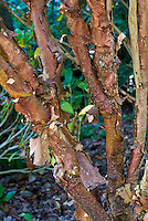Hydrangea aspera subsp. sargentiana peeling bare winter bark