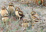 Burrowing owl owlets at den site, Columbia Basin, Washington