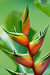 Heliconia bloom, southern Costa Rica, on the Osa Peninsula.