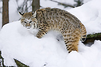 Young Bobcat standing on top of a snow covered log - CA