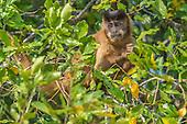 Black-striped Capuchin (Sapajus libidinosus), Mato Grosso, Pantanal, Brazil