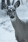 Female deer with fresh snow covering her face and back