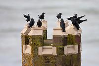 Flock of jackdaws, Corvus monedula, on turret overlooking the sea at Woolacombe, North Devon, UK