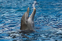 Bottlenose Dolphin (Tursiops truncatus) adult head at surface.