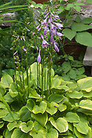 Hosta Platinum Tiara in flower