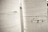 closeup of aspen tree trunks above Guardsman Pass, Park City, Utah