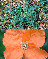 Papaver triniifolium, rosettes and orange flowers, composite picture