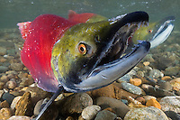 RY1043-D. Sockeye Salmon (Oncorhynchus nerka), close-up of male in spawning colors. When sockeye leave the sea and enter freshwater to begin their final journey upriver to spawn and die, they undergo dramatic change. Silver bodies become red and green and they stop feeding. In males the snout transforms into a hooked beak and their teeth lengthen to become fangs, useful in fighting other males for mates. Adams River, British Columbia, Canada.<br /> Photo Copyright &copy; Brandon Cole. All rights reserved worldwide.  www.brandoncole.com
