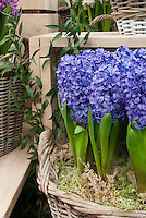 Forcing Bulbs: Hyacinthus orientalis minor in basket indoors bloom
