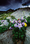 Blue columbine and other wildflowers, Rocky Mountain National Park, Colorado