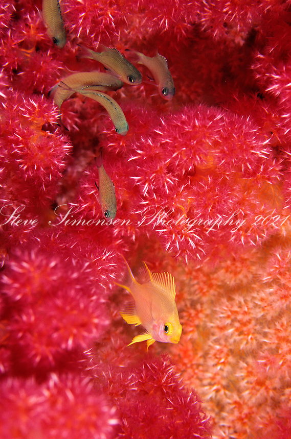 Yellow fish in pink soft coral<br /> Phillipines