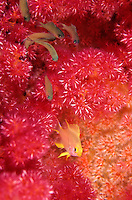 Yellow fish in pink soft coral<br />