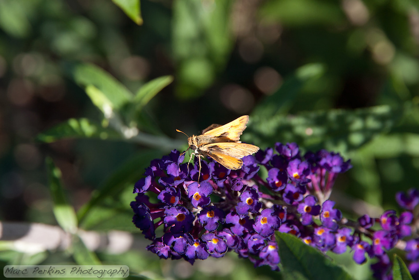 A butterfly (likely a fiery skipper; Hylephila phyleus) on a butterfly bush inflorescence (Buddleia / Buddleja, likely Buddleja davidii 'Black Knight') framed by butterfly bush foliage at the Stanton Central Park butterfly garden.