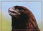 FB 403  Golden Eagle.  5x7 Postcard by Frank Balthis