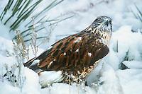 541800002 a wild wildlife rescue ferruginous hawk buteo regalis poses in a snow bank in central colorado united states