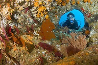 QT7785-D. Scuba diver (model released) looking into cavern decorated with orange cup corals (Tubastraea coccinea) gorgonians and sea fans (Pacifigorgia sp. And Muricea sp.) Baja, Mexico, Sea of Cortez, Pacific Ocean.<br /> Photo Copyright &copy; Brandon Cole. All rights reserved worldwide.  www.brandoncole.com