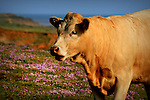 Cow grazing on the cliffs above compton bay, isle of wight