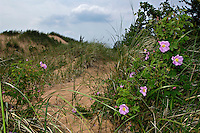 Wild roses (rosa setigera) bloom on the Grand Sable Dunes on Lake Superior in Pictured Rocks National Lakeshore near Grand Marais Michigan.