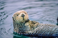 Sea otter, Cordova, Alaska. Sea otters are members of the weasel family (Mustelidae) and are related to mink and river otters.