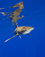 Oceanic whitetip shark, Carcharhinus longimanus, with surface reflection, Kona Coast, Big Island.
