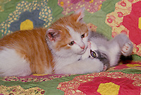 "Brother tiger kitten has sister in ""relaxed pin"" after match on home made quilt"