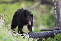 Black Bear (Ursus americanus), adult on log, Yellowstone National Park, Wyoming, USA