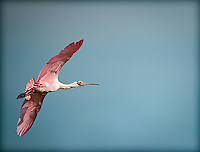 Roseate SpoonBill in flight in Florida Everglades