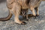 Mareeba rock-wallaby mom with joey in her pouch (Petrogale mareeba)