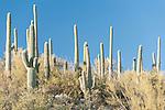 Sabino Canyon Recreation Area, Tucson, Arizona; Saguaro Cactus (Carnegiea gigantea) dot the landscape in late afternoon sunlight