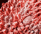 "Tongue. The conical projections on the dorsal surface of the tongue are filiform papillae which collectively provide a rough surface to aid in eating. Filiform papillae range from 2-3mm in length and contain nerve endings for tactile sensation. SEM X165, 3.5"" X 3.5"""