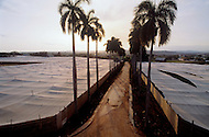 Cuba, March 1992: Sunset over the 'Tapados' near Pinor del Rio. Tobacco is harvested under the Tapados. The muslin cover filters the sunlight and traps the heat so the leaves grow larger and are also protected from the  bugs. Only the largest and finest leaves are selected to make cigar wrappers.