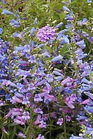 Penstemon  heterophyllus 'Blue Springs', Verbena 'La France' blue and lavender pink flowers