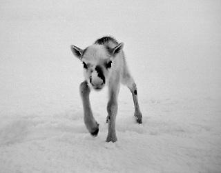 Wild reindeer, Villrein, Simle med kalv, kalv, young reindeer,spring, vår, mountain,snow,snø