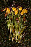 Close-up view of arranged tulips wilting and decaying