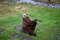 Bear, Namsskogan Zoo. Bjørnen Bjørn.