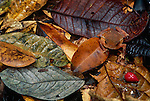 Toad, tropical rainforest, Napo River region, Peru